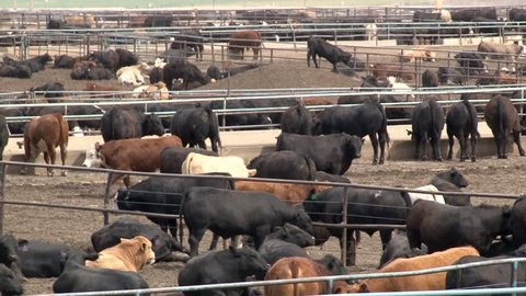 Metal corrals and a feed bunks enclose several breeds of beef cattle in a crowded feedlot in Southern Colorado.