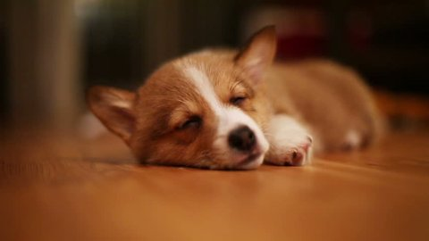 Pembroke Welsh Corgi puppy sleeping on wooden floor. Opens her eyes and shuts them again. Slow motion. HD 720.