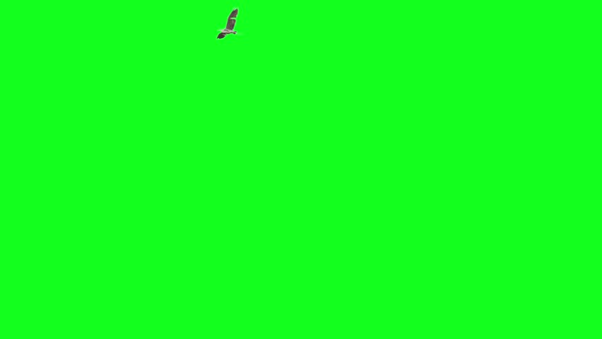 Pack of two big bird flying on green screen. One starts from left goes to right and makes a turn and exits frame from left. One starts from left and end at right side of the frame.