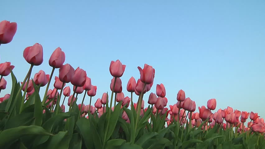 Field Of Beautiful Fresh Red Tulips Moving Slowly By Wind Blue Sky - Colorful flower garden background
