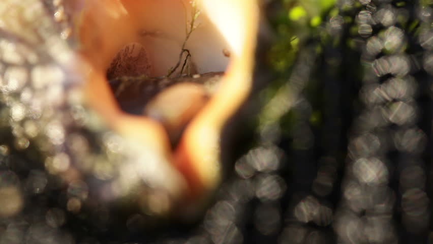 It focus on Rapan in the grid | Shutterstock HD Video #7073167