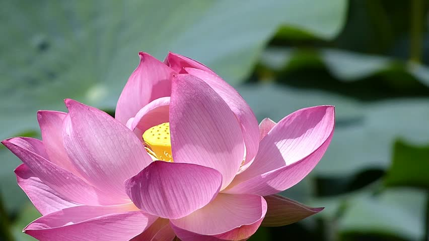 List of synonyms and antonyms of the word japanese lotus flower lotus flower meaning flower meaning mightylinksfo