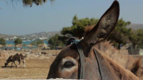 Donkey at Santa Maria Beach, Paros, Greece