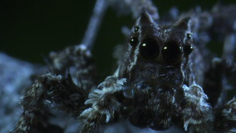 Extreme close up of a Portia Spider in the dark