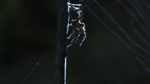 Portia Spider crawling down a branch in front of a web