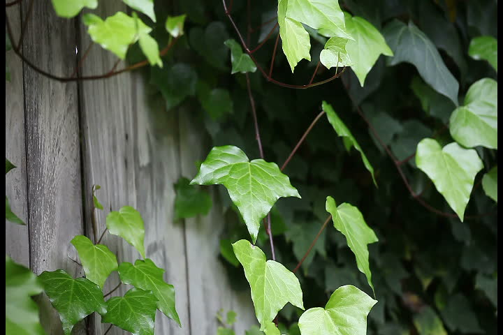 ivy almost covers an old gray fence