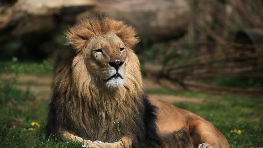 lion #732277