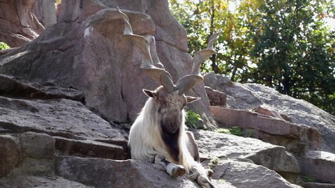 A markhor male, lying on rocky background. Majestic mountain goat, amazing animal alpinist with awful screw horns in splendid solitude. Wild beauty of the great buck in the HD footage.