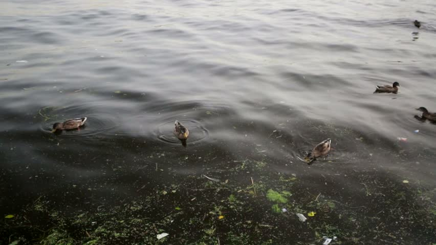 Ducks Swimming in a Dirty Stock Footage Video (100% Royalty-free) 7491367    Shutterstock