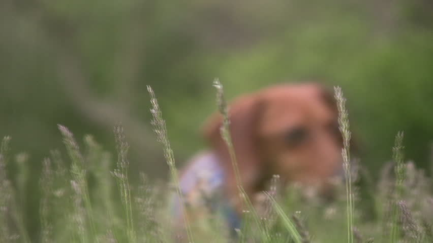 A low angle shot of a miniature Dachshund in the tall blowing grass, moving towards the camera, and then past it.
