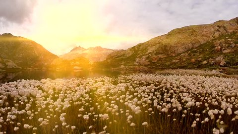 white cotton flower field in mountain landscape