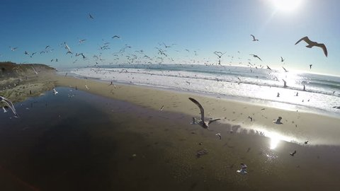 4K Aerial: Flying a drone into a pack of birds on the beach causing mass chaos