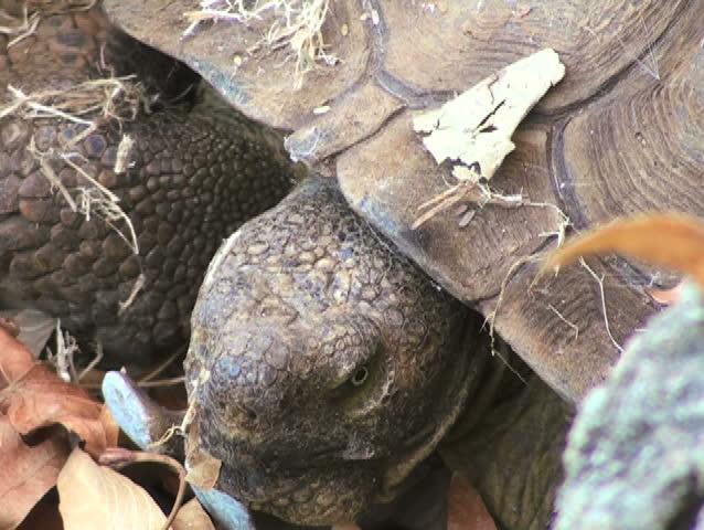 Header of Aldabra Tortoise