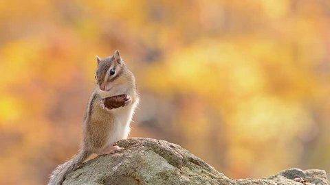 Siberian Chipmunk eating a walnut in Autumn Forest.