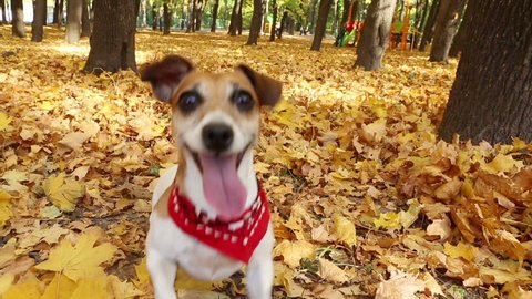 Smart active dog running in autumn park. Playing and fooling around. Video footage