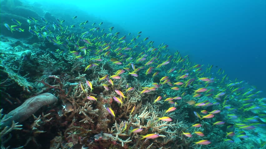 School of fish feeding among corals