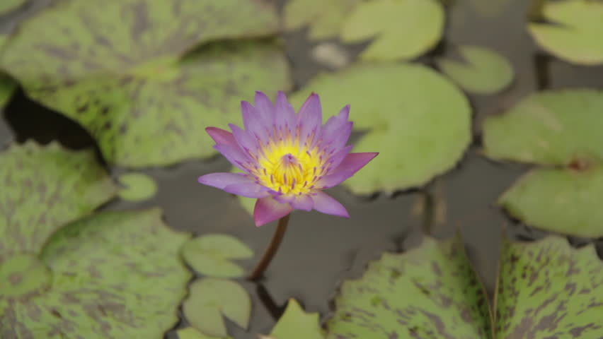 Top down of single Flower sits in small pond surrounded by lily pads.  | Shutterstock HD Video #7802827