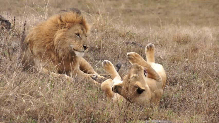 Lions mate in the wild