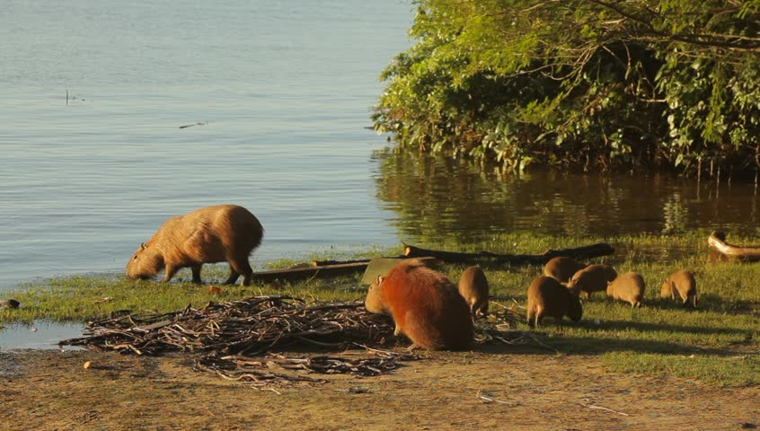Cute capybaras playing on the riverbank in a sunny afternoon in Itajaí / SC