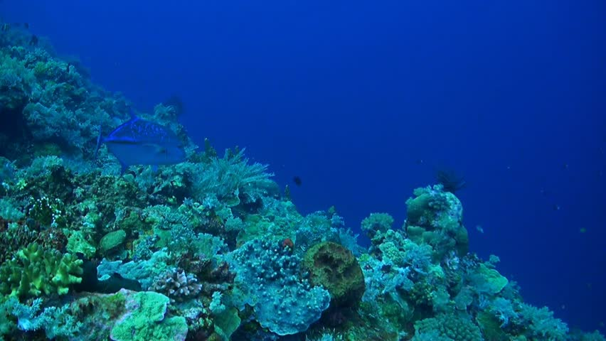 A Bluefin Trevally is circling over a coral reef.   Shutterstock HD Video #7844167