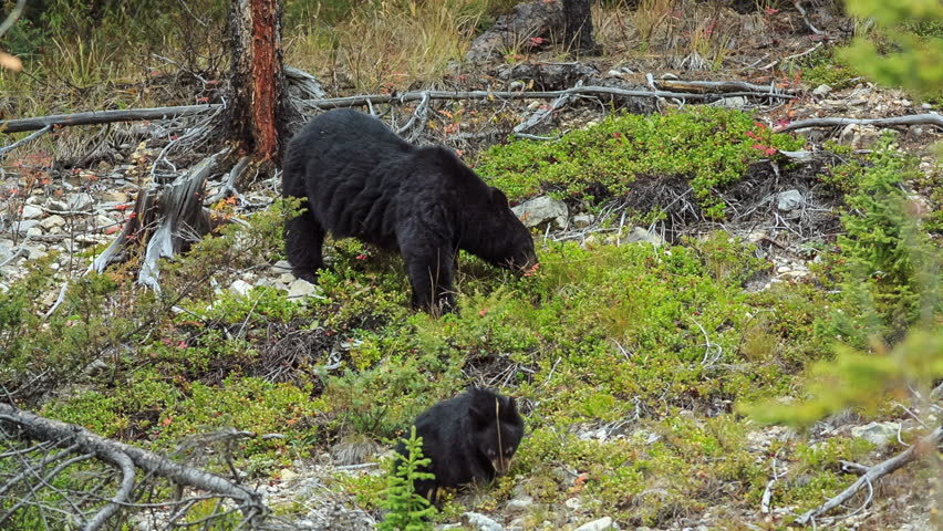 bear with cubs.Jasper National Park, Alberta, Canada