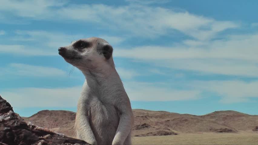 suricate looking around, portrait #7915717
