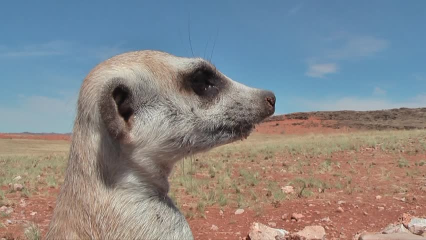 suricate portrait, looking around, close up #7926937