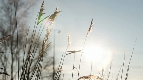 summer scene of reeds waving in the winds very sunny