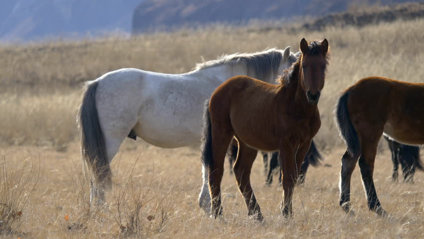 Stock video 4K horses in the valley among the yellow grass | Shutterstock HD Video #7933681