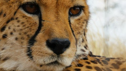 portrait of cheetah in the bush looking into the camera close up