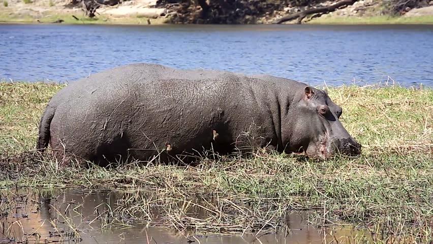 oxpecker and hippopotamus relationship