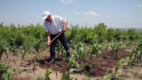 Farmer removes weeds, young plants, man working, hoeing in corn field, organic farm