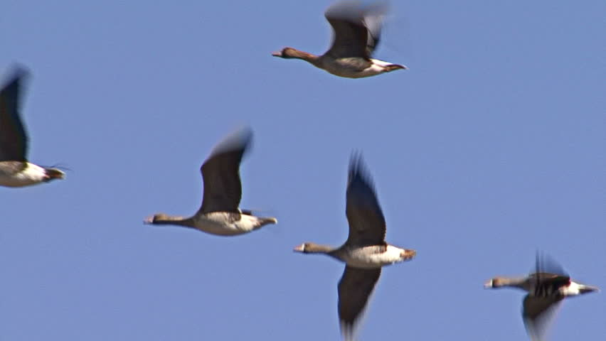 Large flock of White-fronted and Red-breasted geese flying over winter wheat field before start of migration.