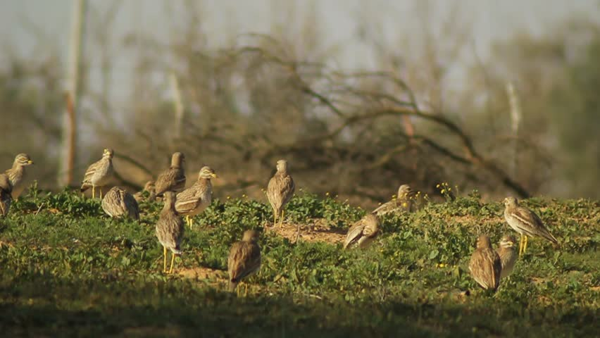 Header of thick-knee