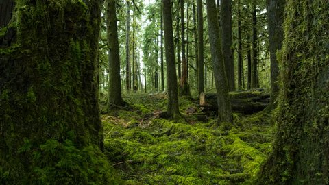 Moving through a pair of moss covered trees in the Quinault Rain Forest