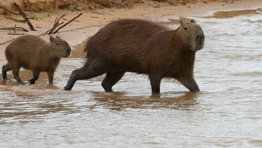 Capybara in a river in the Pantanal wetlands, Brazil, 4k.