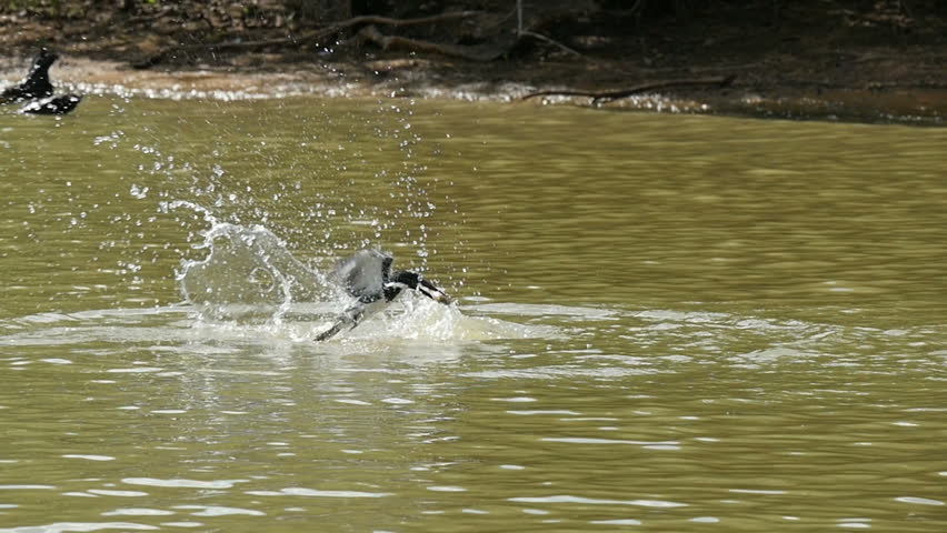 Ringed kingfisher (Megaceryle torquata) catching a fish in a river in the Pantanal wetlands, Brazil, slow motion.