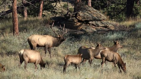 A Rocky Mountain bull elk and its harem in an open meadow on a fall morning in Rocky Mountain National Park, Colorado