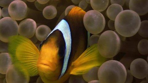 clown fish in anemone Close, red sea