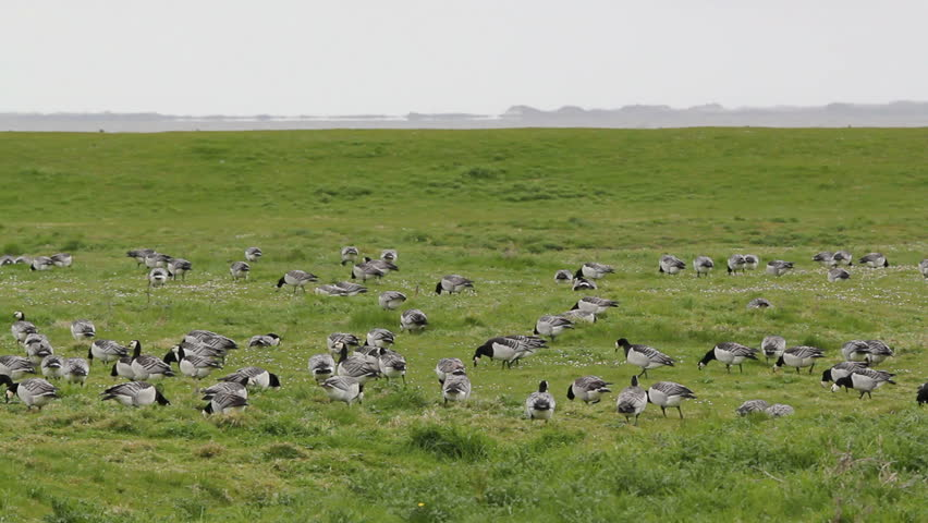 barnacle geese on a meadow