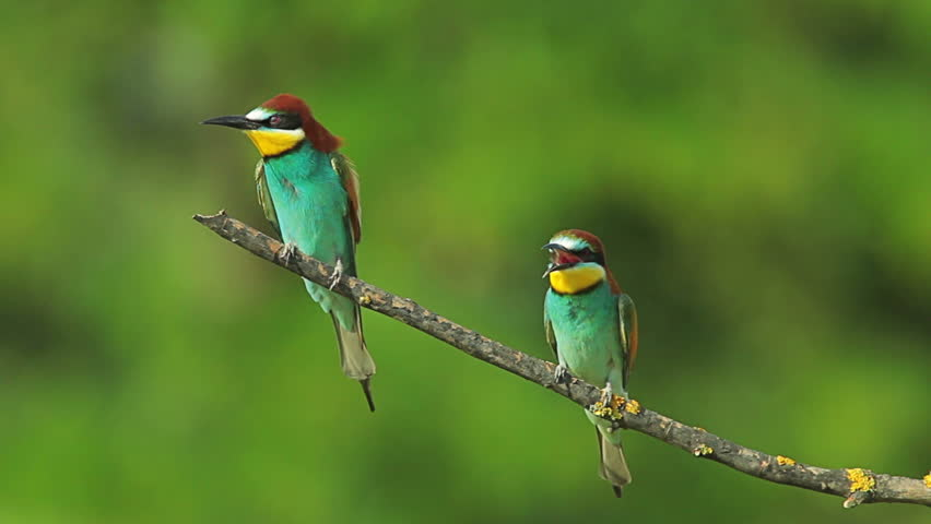Birds Bee-eaters performing nesting games, perching and hunting insects after migration | Shutterstock HD Video #8317141