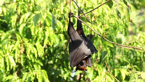 "Bat hanging on a tree branch Malayan bat or ""Lyle's flying fox"" science names ""Pteropus lylei"", low-angle of view shot"