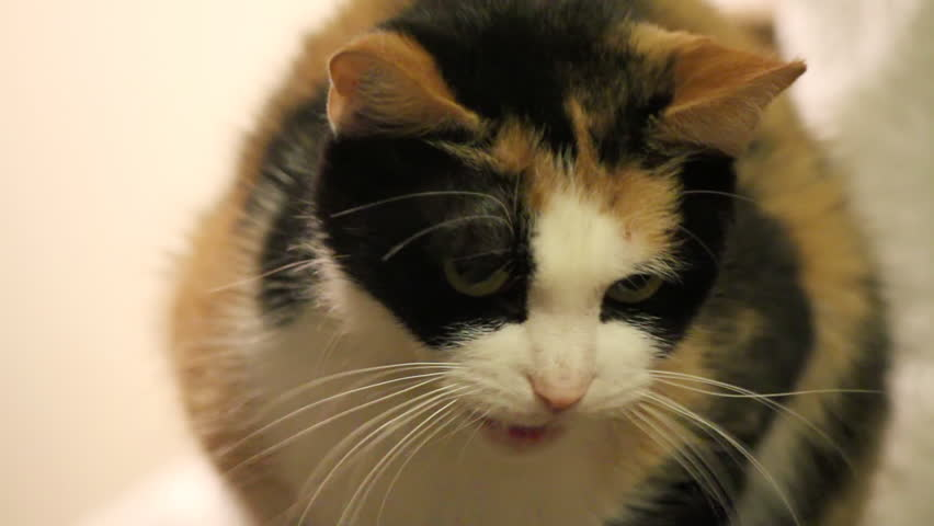 Close up of an angry hissing calico cat