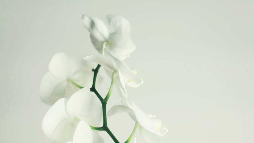 White orchid rotates 360 on white background with place for your text. Seamless