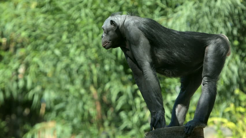 An alpha male bonobo chimpanzee stands guard, watching for predators.