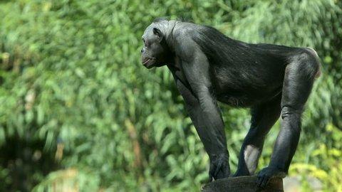 An alpha male bonobo chimpanzee stands guard, watching for predators.
