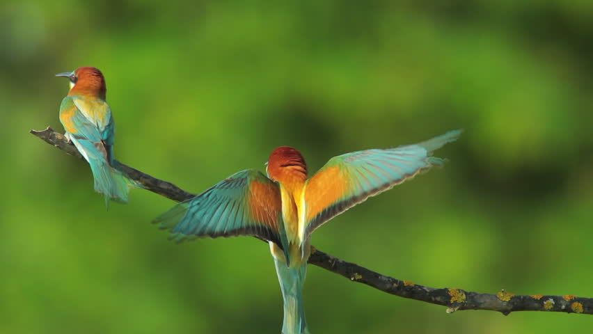 SLOW MOTION, Birds Bee-eaters landing on a branch and perching, Merops apiaster #8514127