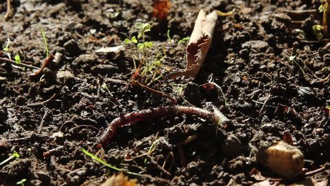 Earthworm crawling
