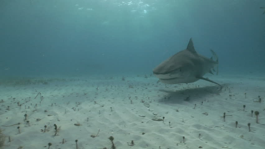 A Tiger Shark (Galeocerdo cuvier) comes to the camera for an extreme close up. | Shutterstock HD Video #856087