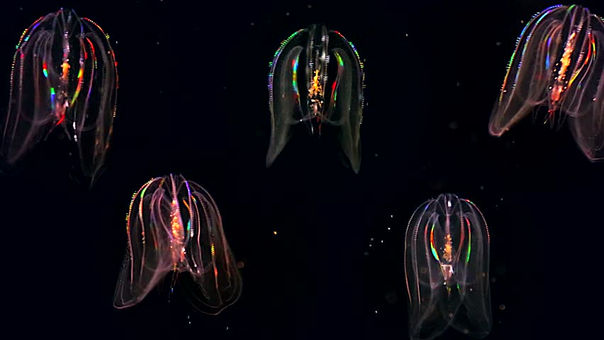 Five Glowing Jellyfish Float Through The Atlantic Ocean These Comb Jellies Mnemiopsis Produce